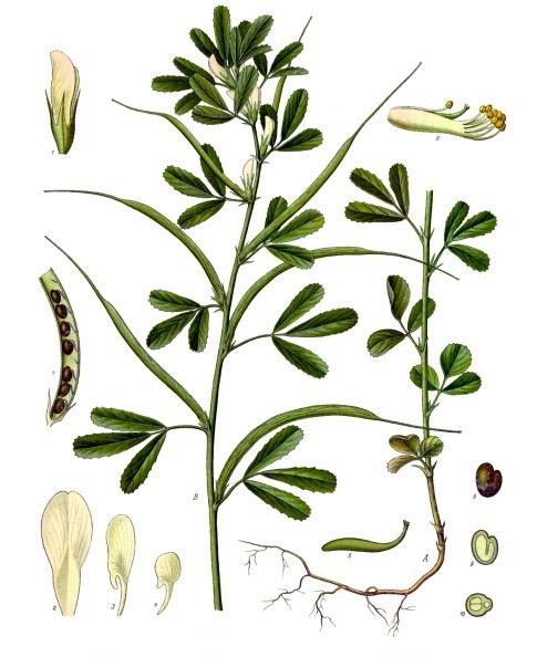 File:Trigonella foenum-graecum - Köhler–s Medizinal-Pflanzen-273.jpg