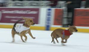 Hockey Team Holds Weiner Dog Races On Ice