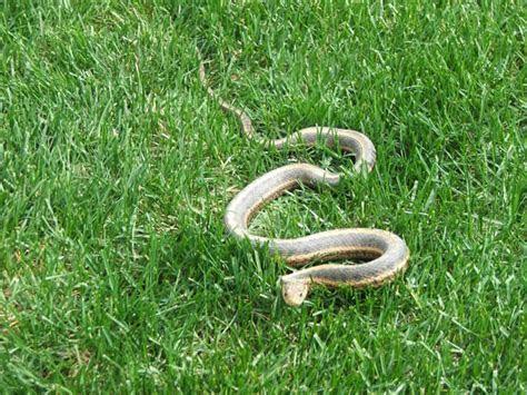 Snake Feces