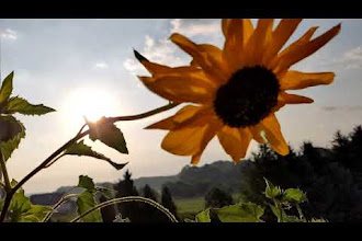 #SuperSlowMo: Sunflower In The Morning