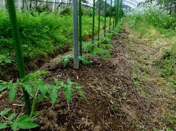 トマト植え付けから2日目