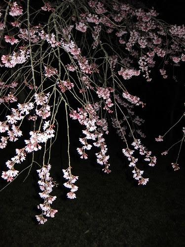 Japanese Cherry, 夜桜