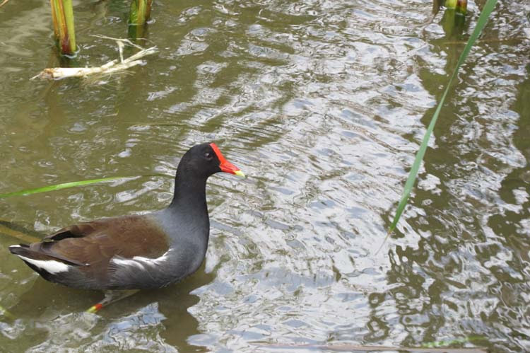 Texas 2015 common gallinule for ws