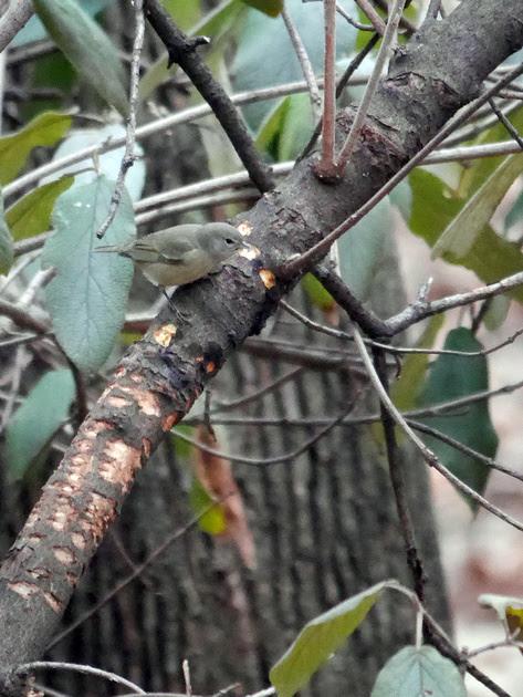 Ed Gaillard: birds &emdash; Orange-Crowned Warbler, Central Park