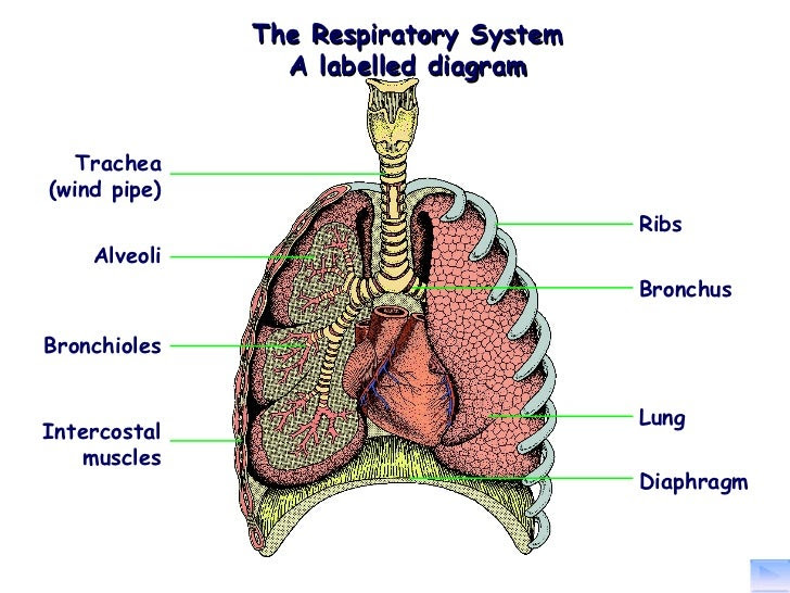the structure and function of the respiratory system 2 728