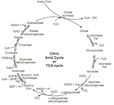 Tricarboxylic acid cycle | Homework Help | Assignment Help ...