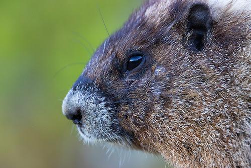 Marmot Close-Up, Mount Rainier National Park, Washington