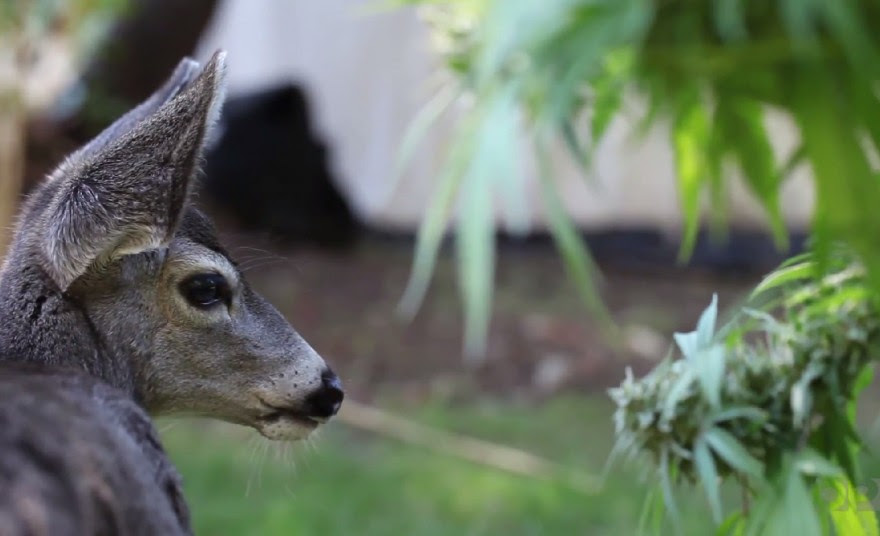 "A deer named ""Sugar Bob"" in Southern Oregon has some people asking whether deer can get high on marijuana."