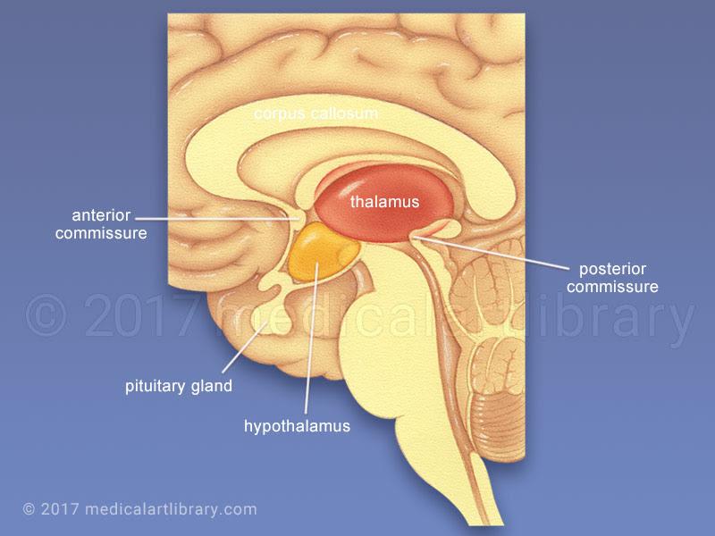 thalamus hypothalamus