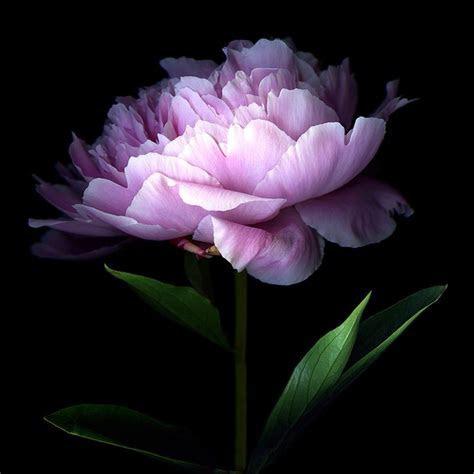 25  best ideas about Dark Purple Flowers on Pinterest