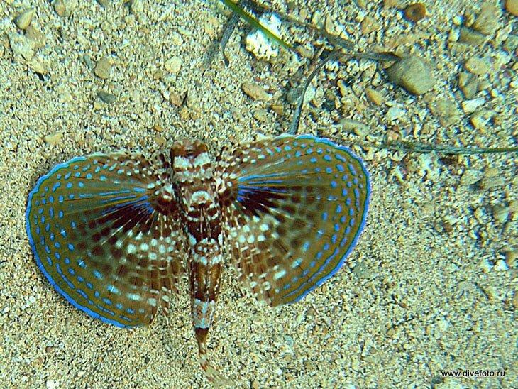 Крылатая рыба средиземного моря фото