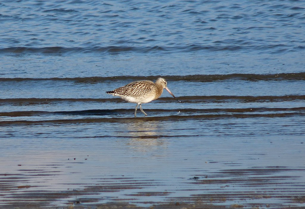 23816 - Bar Tailed Godwit, Whitford Sands, Gower