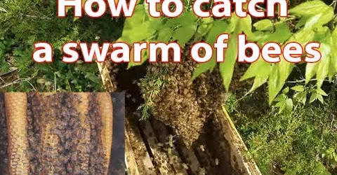 How to catch a swarm of honey bees fast Harvesting Honey from Giant Honeybees in VietNam