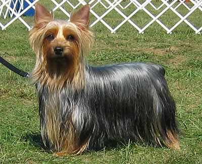Silky Terrier Top Small Dogs