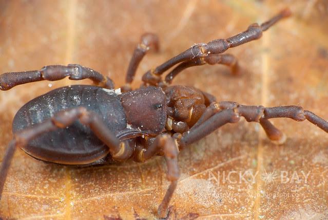 Harvestman (Sandokanidae) - DSC_9093