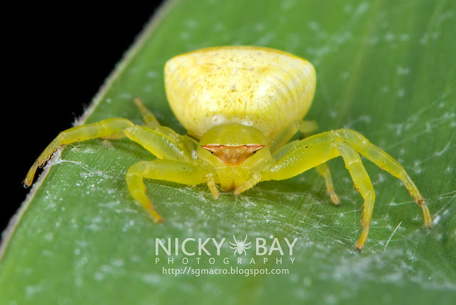 Crab Spider (Thomisidae) - DSC_7962