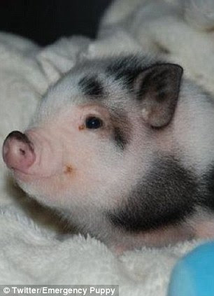 Snug as a pig in a rug: This piglet snuggles down for a cold night ahead