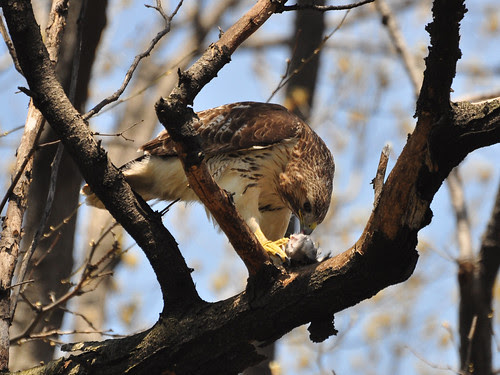 Hawk with Lunch