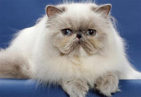 bahas lengkap kucing persia flatnose gambar  harganya