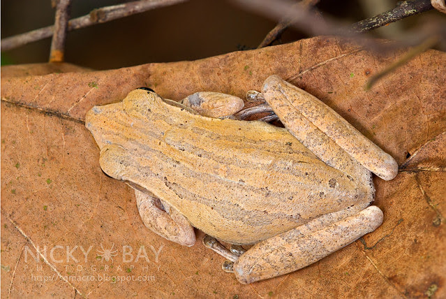 Four-lined Tree Frog (Polypedates leucomystax) - DSC_1679