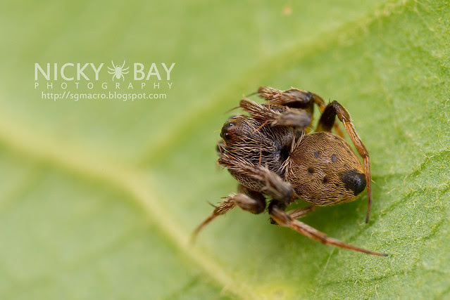 Orb WebSpider (Araneidae) - DSC_6418