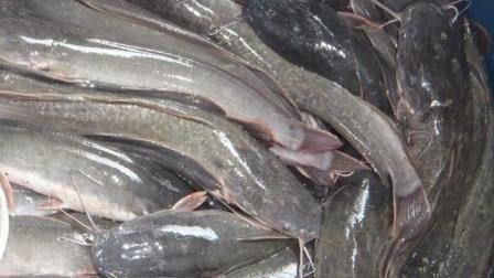Download 660+ Gambar Ikan Lele Rawa HD Gratis