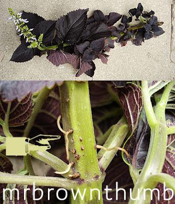 Rooting Coleus Plants, Popular Garden Annual