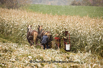 Amish Corn Harvest with Antique Corn Binder and First Snow, Monroe County, Wisconsin
