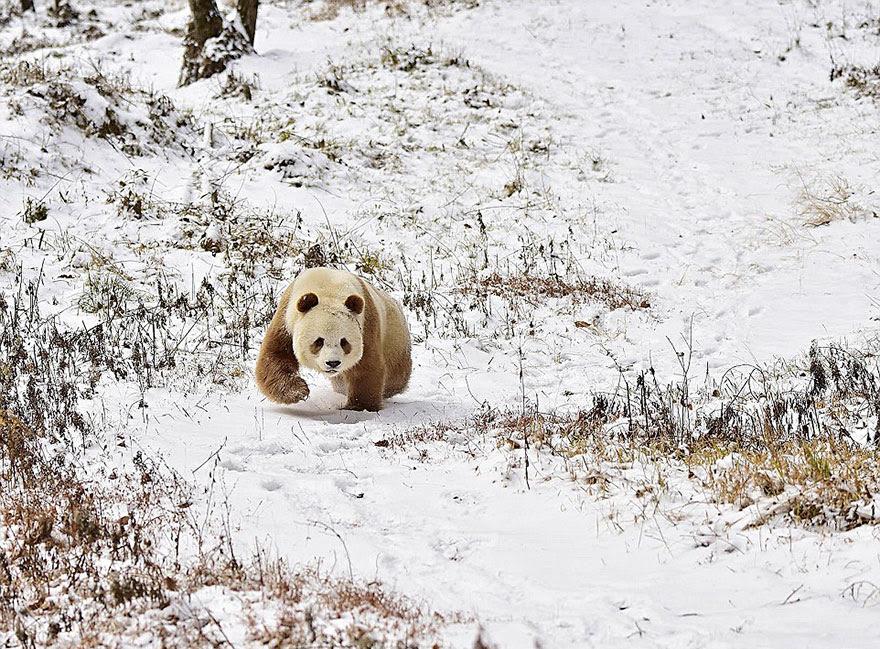abandonou-brown-panda-qizai-12