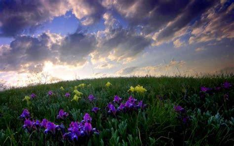 hd iris field wallpaper