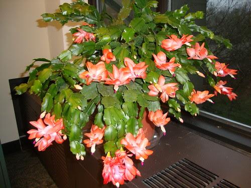 12/21/11 Christmas cactus