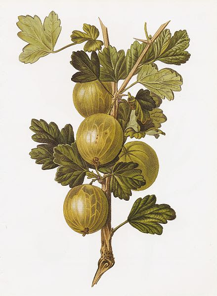 File:Gooseberry Crompton Sheba Queen RHS.jpeg