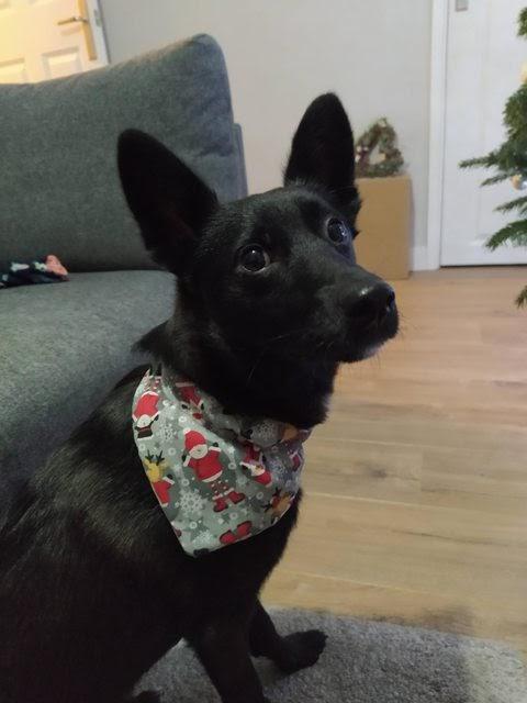 Milo – 1 year old male Cross-Breed