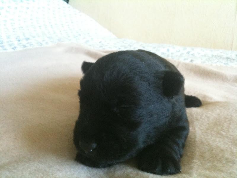 Il était une fois Gaspard de la Terre des Mac Philivan's, Scottish Terrier