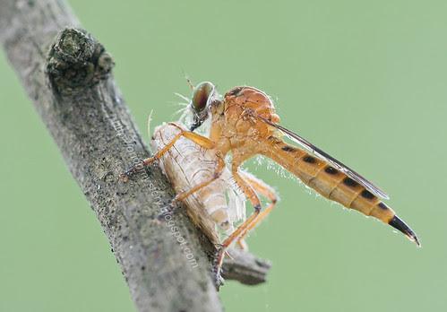 orange robber fly with moth prey IMG_9405 copy