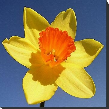 Got The Gift?: Spring Daffodils - The March Birth Flower