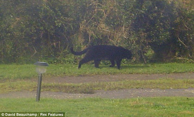 Rival: In 2008 Chris Ede spotted this big black cat outside her holiday home and believes it may have been the legendary Beast of Bodmin