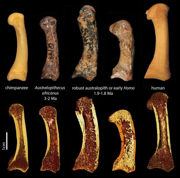 Fileira de cima mostra ossos dos metacarpos de polegar de (da esq. para a dir.): um chimpanzé, um fóssil de Australopithecus africanus, dois espécimes pertencentes ou ao gênero Australopithecus ou ao gênero Homo, e um humano; a fileira de baixo mostra imagens de tomografia dos mesmos exemplares (Foto: T.L Kivell/Divulgação)