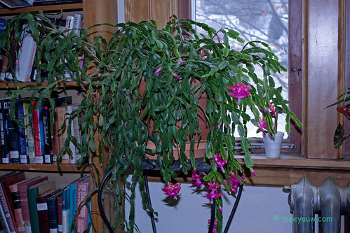 Christmas Cactus at the Librar 10.jpg