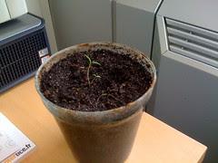 Plant de tomate