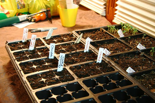 planted peppers