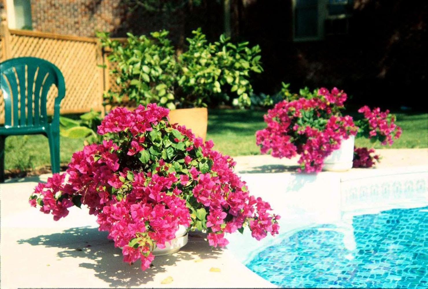 Bougainvilleas Add A Touch Of The Tropics Mississippi State University Extension Service