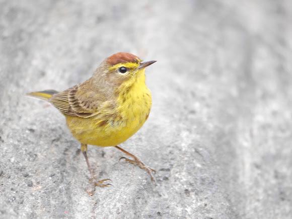 Ed Gaillard: birds &emdash; Palm Warbler, Central Park