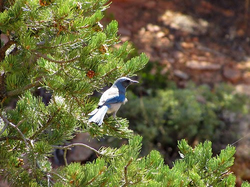 IMG_3725_Pinyon_Jay_Zion_National_Park
