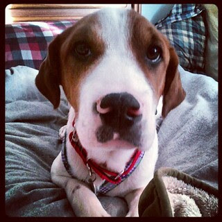 Good Morning! #foster #puppy Lambchop #dogs #happydog #fosterdog #adoptdontshop #rescue #saintbernardmix #mutt #hound
