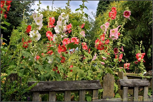 It's Hollyhock Time