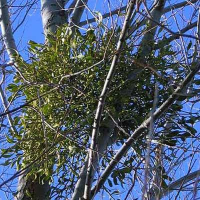 mistletoe leaves in a tree