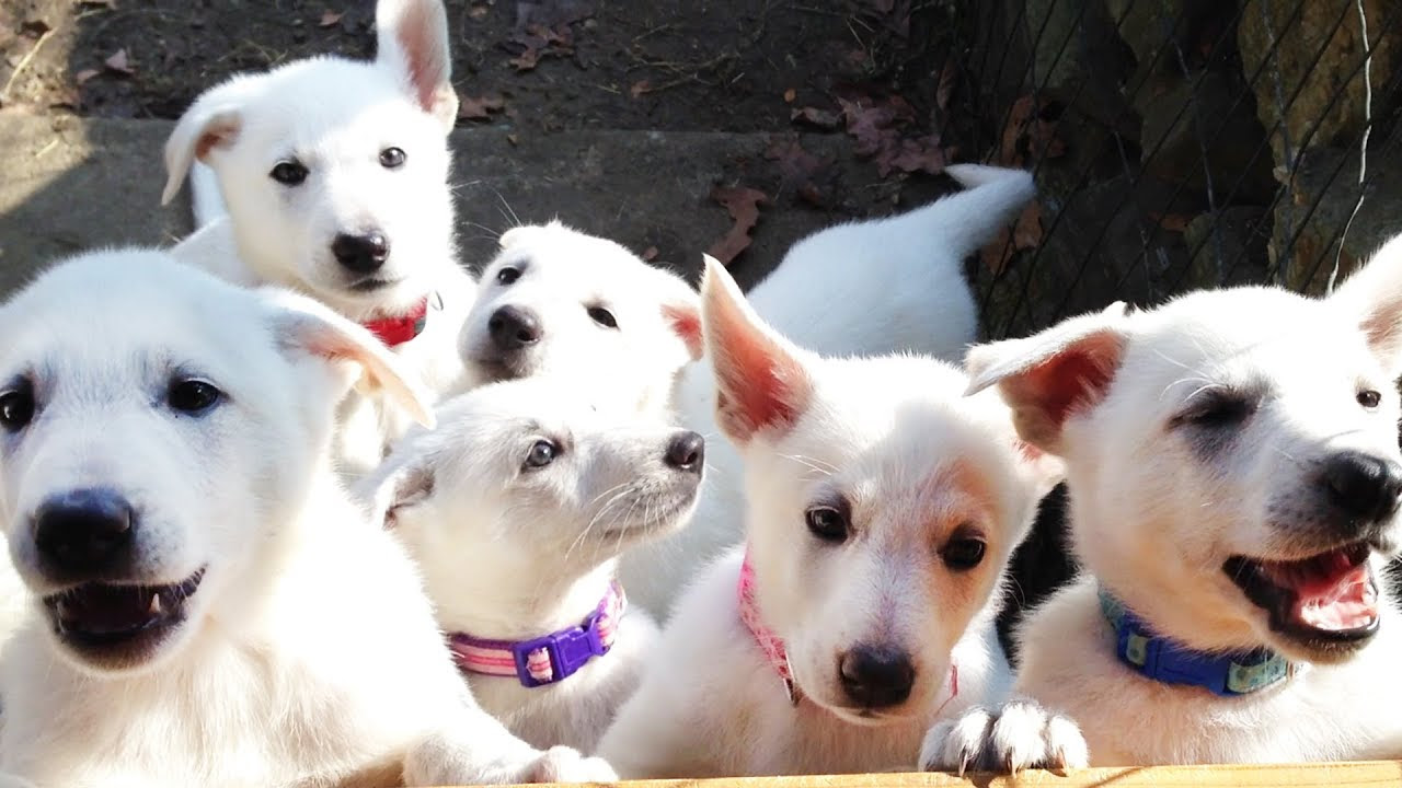 Buy White German Shepherd Dogs Puppies For Sale In Portugal