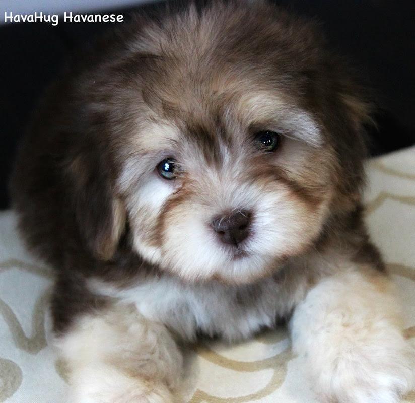 HavaHug Havanese Puppies - HavaHug Havanese Puppies of ...