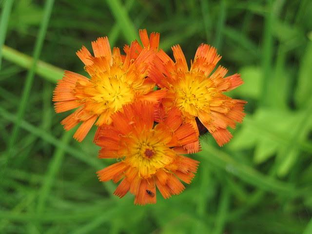 Adirondack wild flower